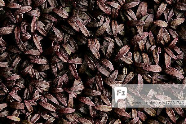 Dicht gepackte Amaranth Aztec Mikrogrün-Setzlinge von oben aufgenommen