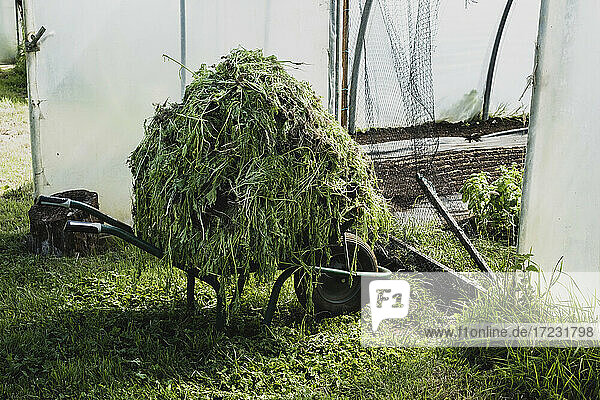 Haufen von Gemüse-Stecklingen auf einer Schubkarre in einem Polytunnel.
