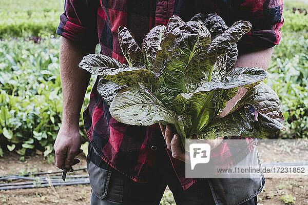 Farmer in a field  holding freshly picked purple leaf lettuce.