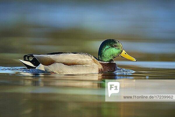 Mallard (Anas platyrhynchos) male swimming in water  Bavaria  Germany  Europe