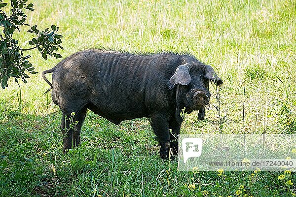 Iberian pig in a meadow in the shade  near Llubí  Majorca  Spain  Europe