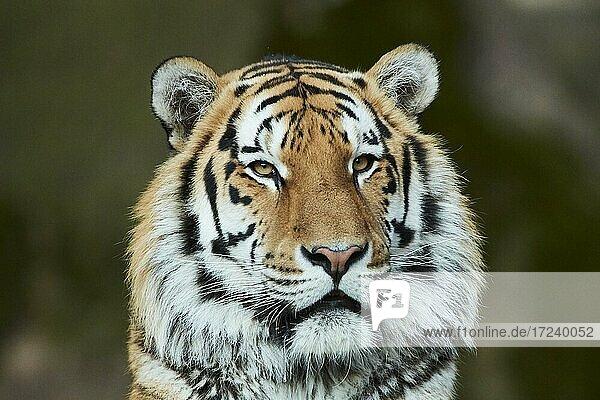 Siberian tiger (Panthera tigris tigris)  portrait  Bavaria  Germany  Europe