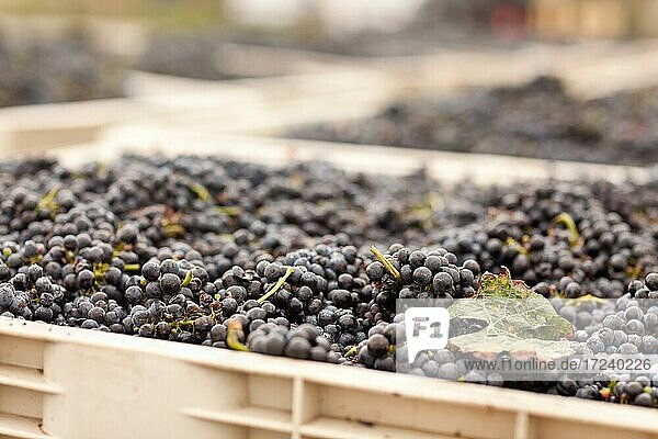 Harvested ripened wine grapes in crates  grapes  wine making  wine  farm  harvesting  vineyard  winery Harvested ripened wine grapes in crates, grapes, wine making, wine, farm, harvesting, vineyard, winery