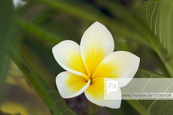 White tropical frangipani (plumeria)  kauai  hawaii  United States  North America