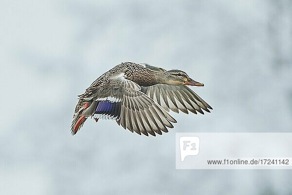 Mallard (Anas platyrhynchos)  flying  Bavaria  Germany  Europe