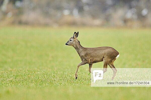 Roe deer (Capreolus capreolus) on a meadow  wildlife  Bavaria  Germany  Europe