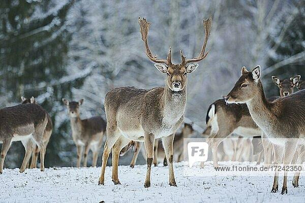 Fallow deers (Dama dama) on a snowy meadow  captive  Bavaria  Germany  Europe