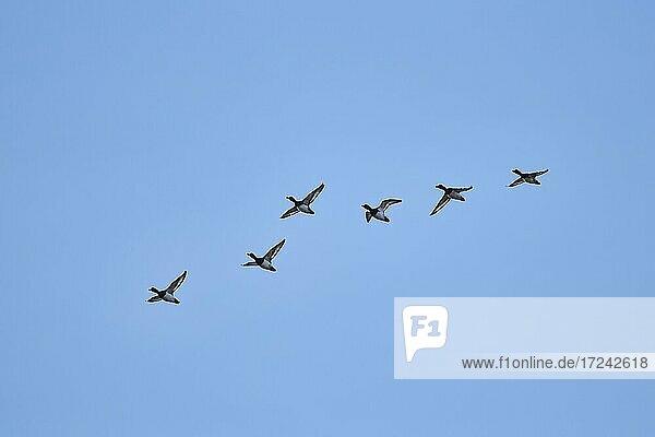Flying Tufted ducks (Aythya fuligula)  Bavaria  Germany  Europe