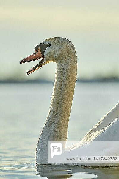 Mute swan (Cygnus olor) swimming on donau river  Bavaria  Germany  Europe