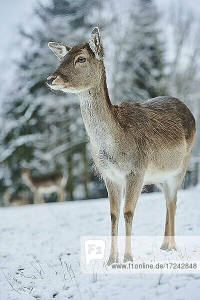 Fallow deer (Dama dama)  female on a snowy meadow  captive  Bavaria  Germany  Europe