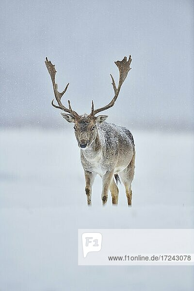 Fallow deer (Dama dama) on a meadow  captive  Bavaria  Germany  Europe