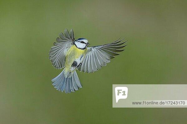 Blue tit (Parus caeruleus) in flight  North Rhine-Westphalia  Germany  Europe