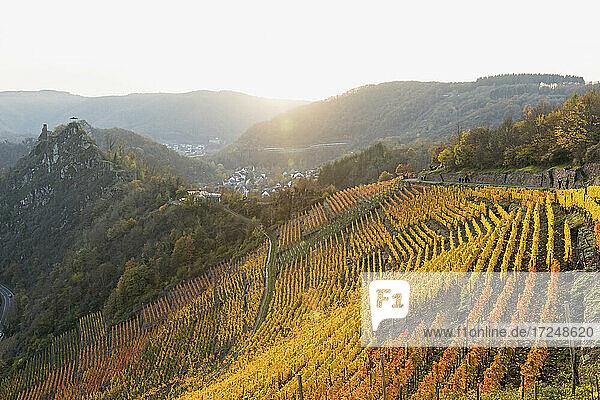 Germany  Rhineland-Palatinate  Altenahr  Yellow hillside vineyard in Ahr Valley at sunset Germany, Rhineland-Palatinate, Altenahr, Yellow hillside vineyard in Ahr Valley at sunset