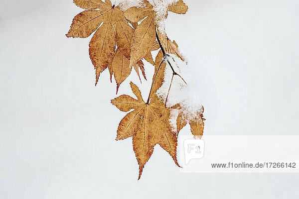 Schnee auf Herbst Ahornblätter