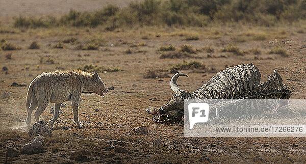Afrika  Kenia  Amboseli-Nationalpark  Tüpfelhyäne (Crocuta crocuta) nähert sich Büffelkadaver