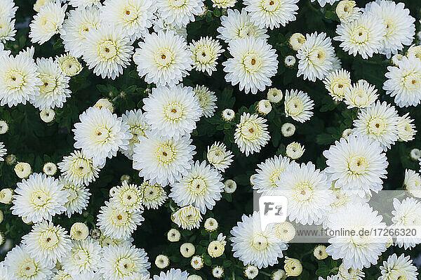 Draufsicht auf weiße Chrysanthemen
