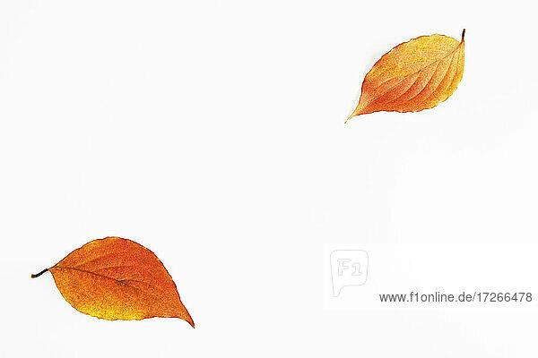 Herbst Hartriegel Blätter auf weißem Hintergrund
