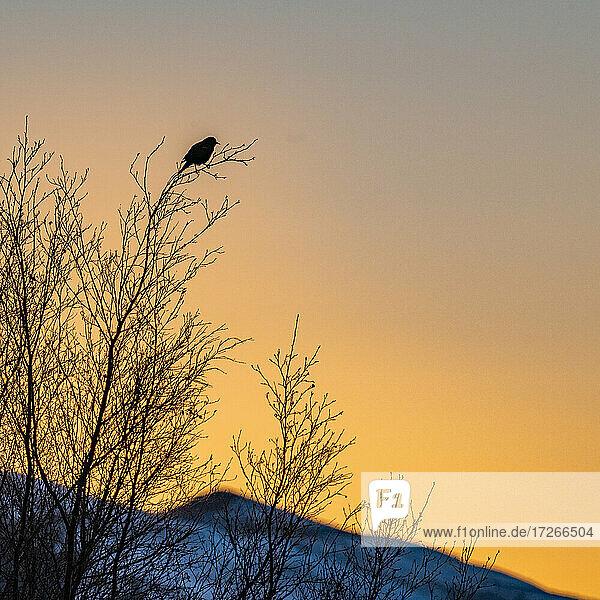 USA  Idaho  Bellevue  Silhouette eines Singvogels im Baum bei Sonnenuntergang
