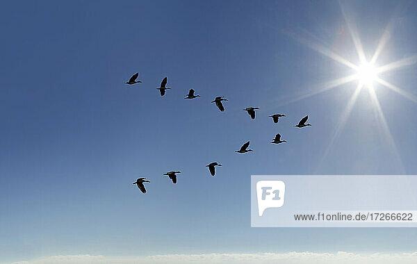 Ägyptische Gans (Alopochen aegyptiaca) fliegt in V-Formation am sonnigen Himmel