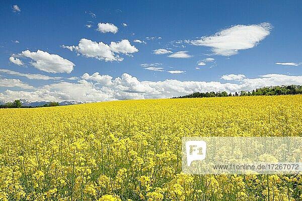 Rape field in bloom under blue sky  Switzerland  Europe