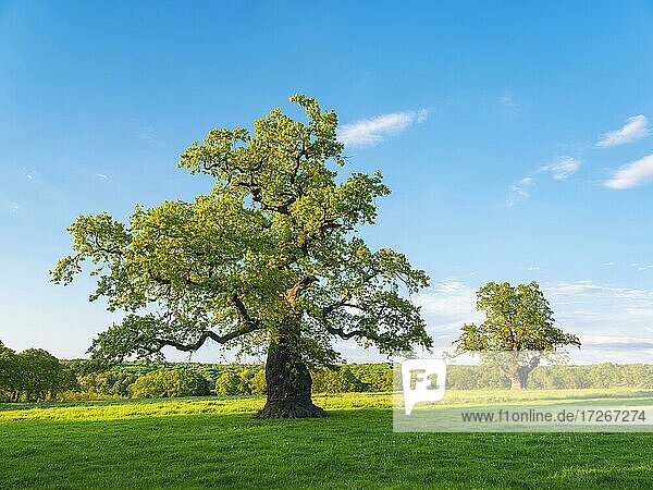Meadow with old gnarled solitary oaks (Quercus robur) in spring under blue sky  former hute trees  natural monument  evening light  Reinhardswald  Hesse  Germany  Europe