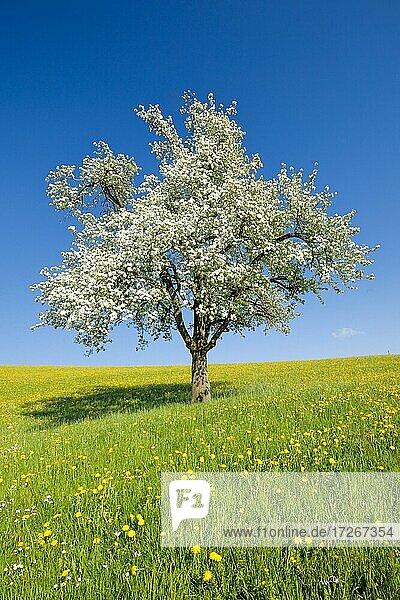 Solitary tree  flowering pear tree in spring in flowering meadow  Zurich Oberland  Switzerland  Europe