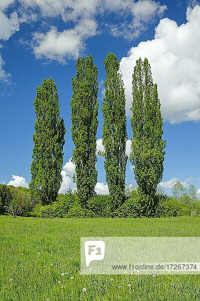 Four large poplars in green meadow under cloudy sky in sunshine