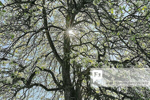 Abstract cutout of blossoming pear tree backlit with sun shining through branches  spring  Zurich Oberland  Switzerland  Europe