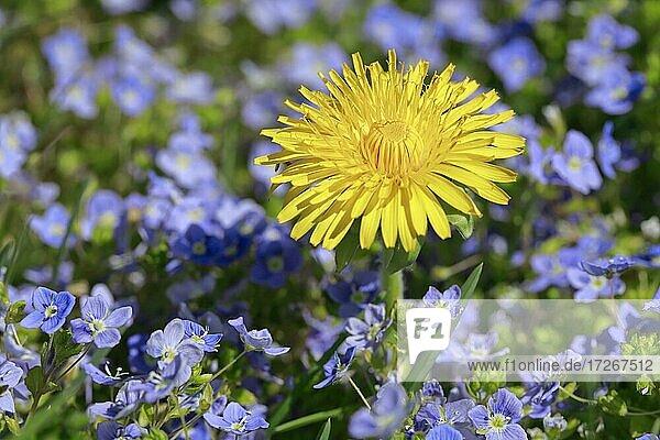 Close-up of dandelion and Slender speedwell  Switzerland  Europe