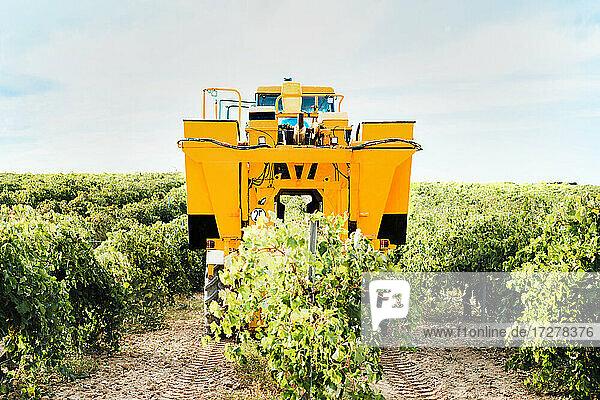 Mechanical grape harvester working in vineyard Mechanical grape harvester working in vineyard