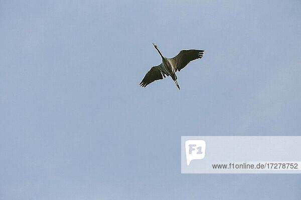 Germany  Brandenburg  Linum  Crane flying against clear blue sky