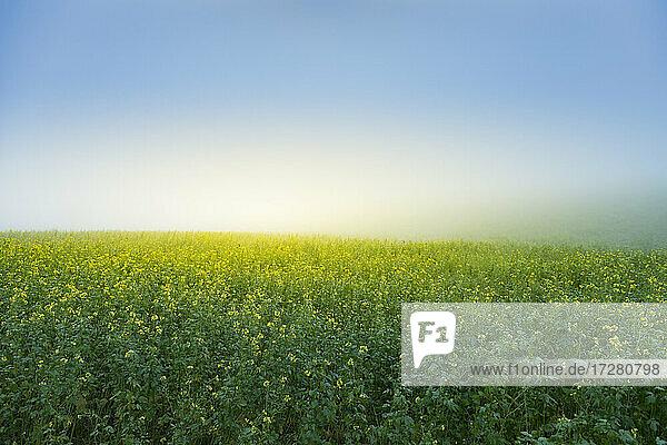 Rape field and blue sky at sunrise