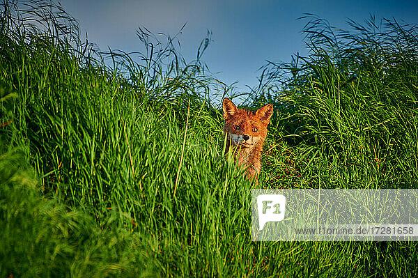Rotfuchs (Vulpes vulpes) versteckt im hohen Gras  Heinsberg  Nordrhein-Westfalen  Deutschland |red fox (Vulpes vulpes) hidden in the tall grass  Heinsberg  North Rhine-Westphalia  Germany|