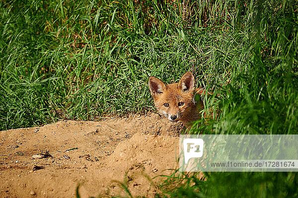 Rotfuchs (Vulpes vulpes)  Fuchs-Welpe schaut aus Bau  Heinsberg  Nordrhein-Westfalen  Deutschland |red fox (Vulpes vulpes)  Fox puppy looking out of den  Heinsberg  North Rhine-Westphalia  Germany|