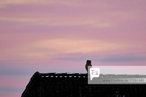 Uhu (Bubo bubo) auf einem dach im Sonnenuntergang  Heinsberg  Nordrhein-Westfalen  Deutschland |Eurasian eagle-owl (Bubo bubo) on roof in the sunset   Heinsberg  North Rhine-Westphalia  Germany|