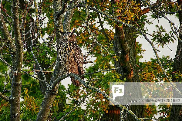 Uhu (Bubo bubo) auf einem Ast eines Baums  Heinsberg  Nordrhein-Westfalen  Deutschland |Eurasian eagle-owl (Bubo bubo) sitting on a branch in a tree  Heinsberg  North Rhine-Westphalia  Germany|