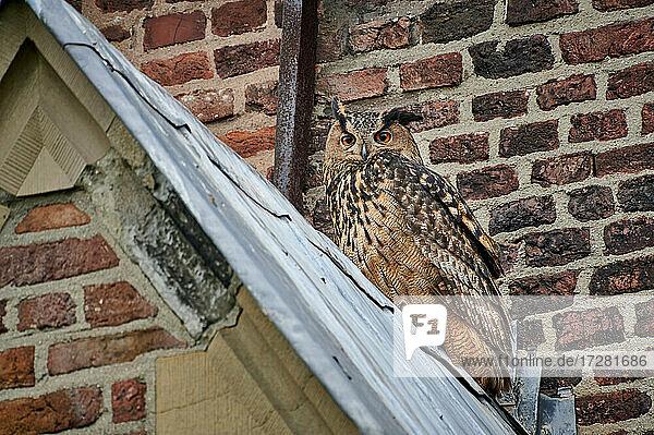 Uhu (Bubo bubo) auf dem Dach einer Kirche  Heinsberg  Nordrhein-Westfalen  Deutschland |Eurasian eagle-owl (Bubo bubo) sitting on the roof of a church  Heinsberg  North Rhine-Westphalia  Germany|