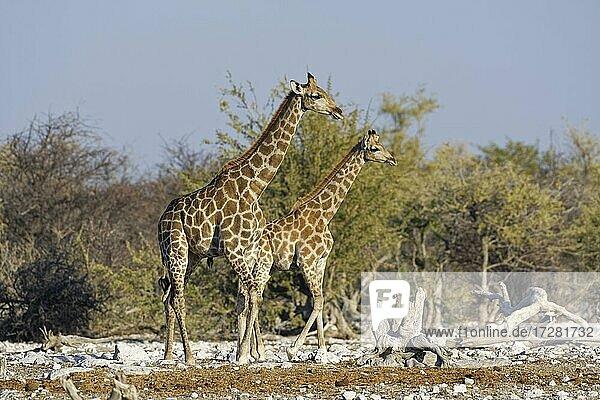 Namibian giraffes (Giraffa camelopardalis angolensis)  two young males walking next to the waterhole in the evening sun  Etosha National Park  Namibia  Africa