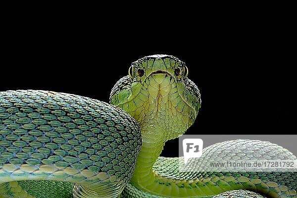Forest Pit Viper (Bothriopsis bilineata) french guyana