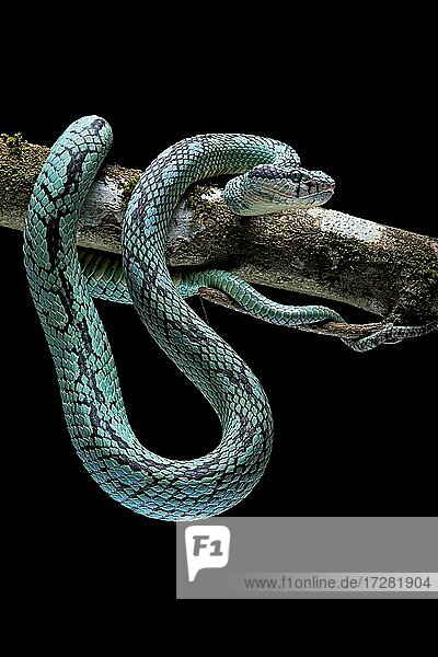 Sri Lanka Pit Viper (Trimeresurus trigonocephalus) Sri Lanka