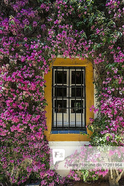 Window framed by bougainvillea  exterior facade  Andalusian noble palace  Palacio de las Dueñas  Seville  Andalusia  Spain  Europe