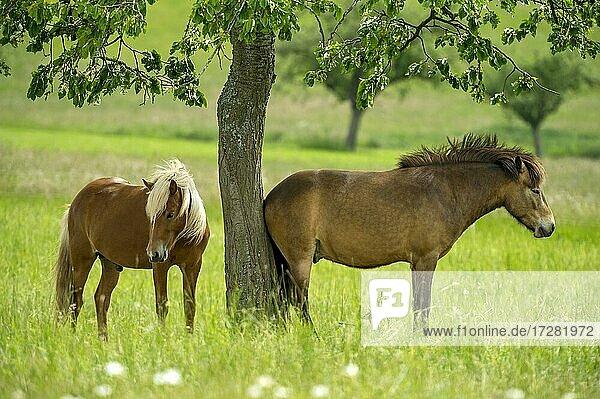 Horses  domestic horses (Equus caballus) on extensive pasture under apple tree  Nidda  Hesse  Germany  Europe