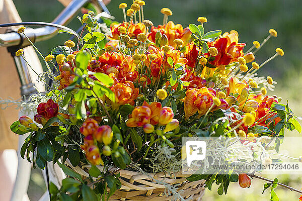 Bicycle basket full of fresh freesia flowers on sunny day