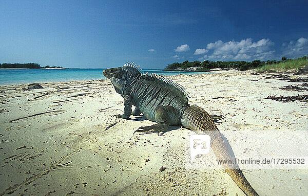 Turks- und Caicosinseln  Providenciales  Karibik  Leguan am Strand