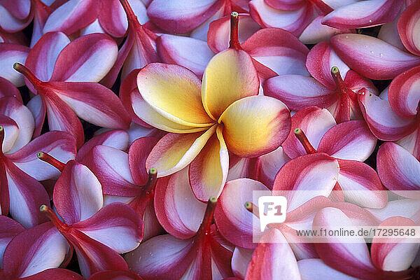 Nahaufnahme von Frangipani-Blüten