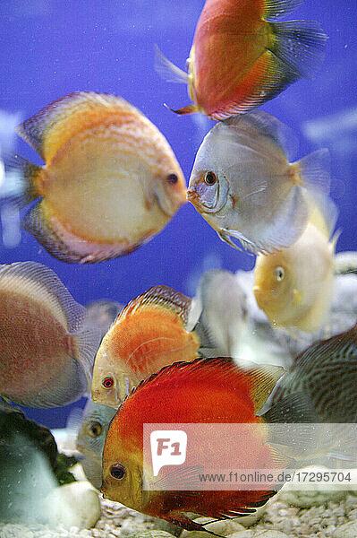 Bunte Fische im Aquarium