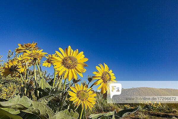 USA  Idaho  Boise  Pfeilwurz-Balsamwurzel (Balsamorhiza sagittata) vor blauem Himmel