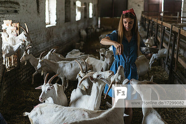 the girl feeds a lot of goats from her hands