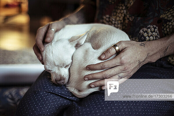 small cute white chihuahua curls in ball on lap with loving hands home