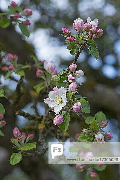 Junge Apfelblüten (Malus) am Baum  Bayern  Deutschland  Europa